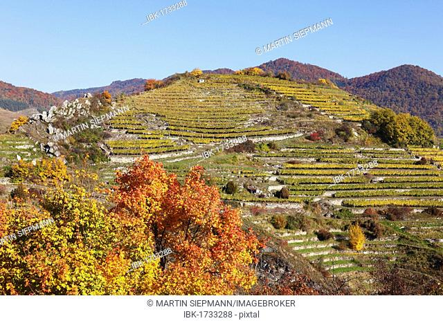 Vineyards on Tausendeimerberg mountain in autumn, Spitz, Wachau valley, Waldviertel region, Lower Austria, Austria, Europe