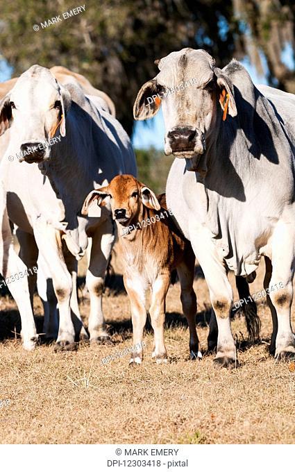 Brahman cows with calf; Reddick, Florida, United States of America