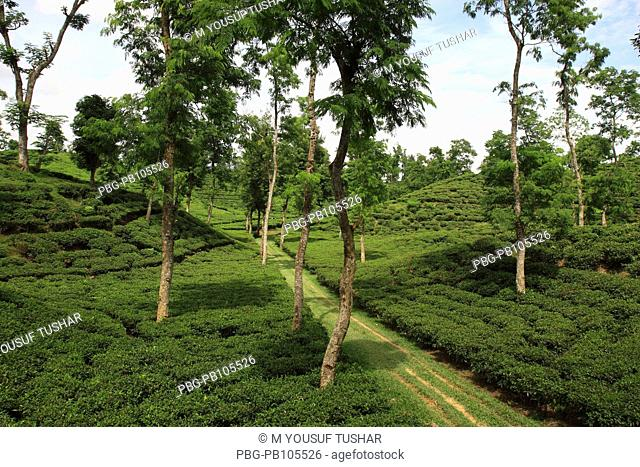 A tea garden at Srimangal, Bangladesh Tea is a major industry in Bangladesh and grows in the low hills of Chittagong and Sylhet There are about 158 tea gardens...
