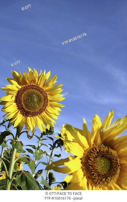 SunFlowers, flower under the sky
