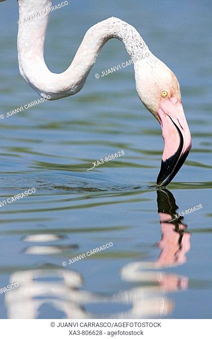 Flamingo (Phoenicopterus roseus) on lagoon