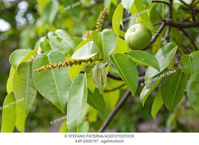 Manchineel tree, Hippomane mancinella, Tree, Fruit, Puerto Egas, Santiago Island, Galapagos Islands, Ecuador