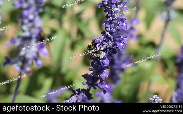 Mealy Cup Sage (Salvia Farinacea) a herbaceous perennial native to Mexico and parts of the United States including Texas and Oklahoma
