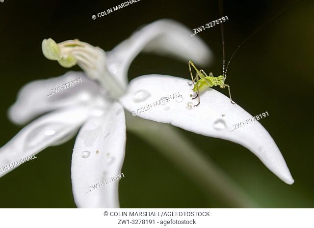Katydid aka Long-horned Grasshopper or Bushcricket (Tettigoniidae Family) on flower with water drops, Klungkung, Bali, Indonesia