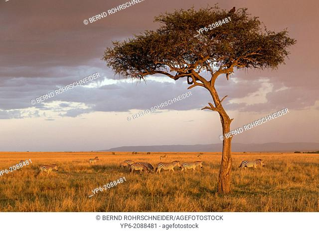 Plains Zebras (Equus quagga) in savannah in evening light, Masai Mara, Kenya