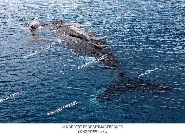 Humpback whale (Megaptera novaeangliae), dam and calf at the sea surface, Queensland, Pacific, Australia