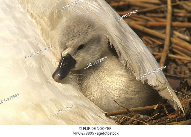 Mute Swan Cygnus olor, cygnet under parent's wing, Europe