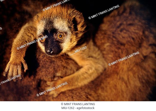 Brown lemur baby clinging to parent, Eulemur fulvus, Madagascar