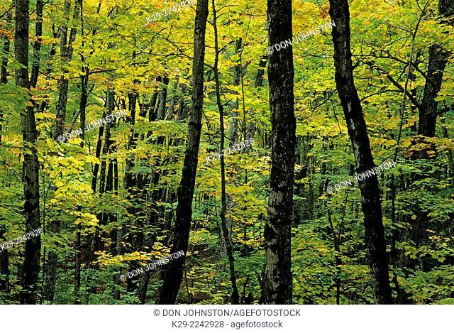 Autumn woodland, Bald Hill Wildlife Management area, Vermont, USA