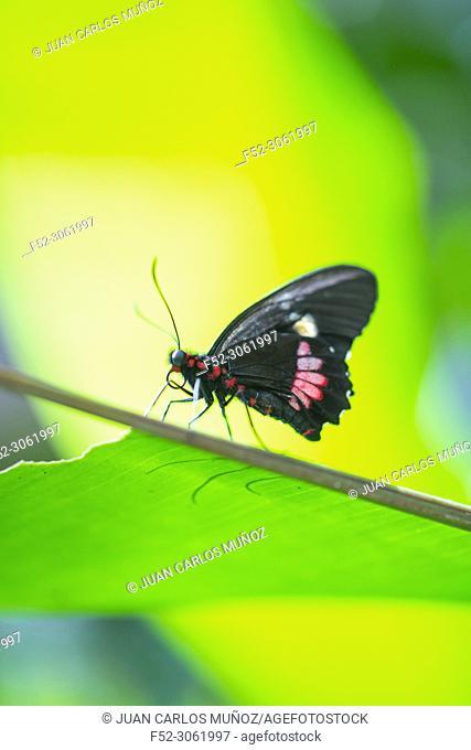 Buterflies, Insectos, Arthropods, Fauna