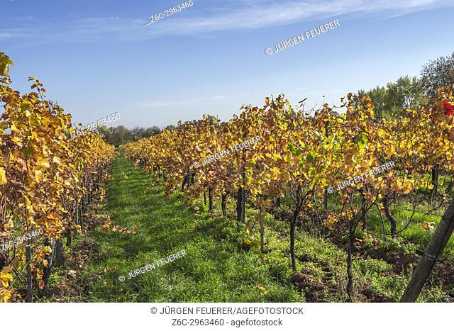 autumn foliage and autumn light in a vineyard of the Alsace, near village Mittelbergheim, France