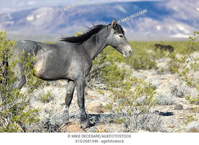 Wild horse protected by a federal program roam range land in the American West
