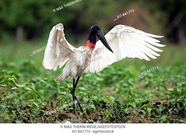 Jabiru stretching its wings, Pantanal, Brazil Jabiru d'Amérique s'étirant les ailes, Pantanal, Brésil Jabiru seine Flüegel, Fluegel ausbreitend, Pantanal