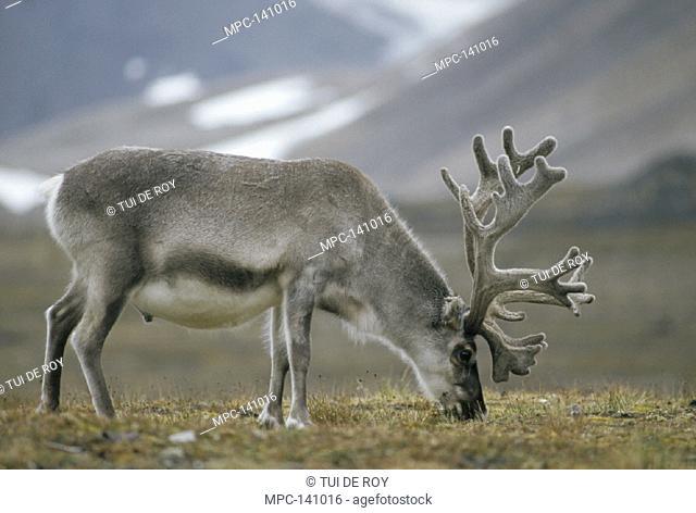 SVARLBARD REINDEER (Rangifer tarandus platyrhynchus), BULL IN VELVET GRAZING ON SUMMER TUNDRA, NY-ALESUND, SPITSBERGEN ISLAND, SVARLBARD ARCHIPELAGO