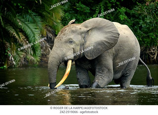 African forest elephant (Loxodonta cyclotis) in Lekoli River. Odzala-Kokoua National Park. Cuvette-Ouest Region. Republic of the Congo