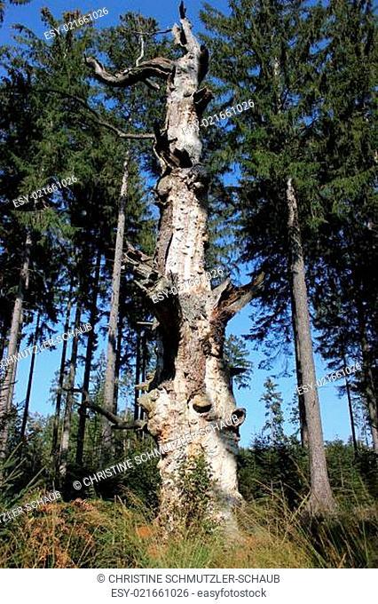 Uralte Eiche im Urwald Sababurg