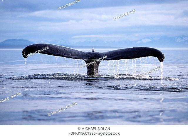 Adult humpback whale fluke-up dive in Frederick Sound, southeast Alaska, USA