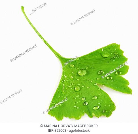 Ginkgo or Maidenhair Tree leaf (Ginkgo biloba) with drops of water