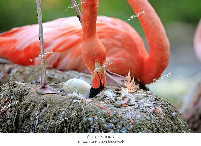 American Flamingo, Phoenicopterus ruber ruber, South America, adult portrait breeding on nest