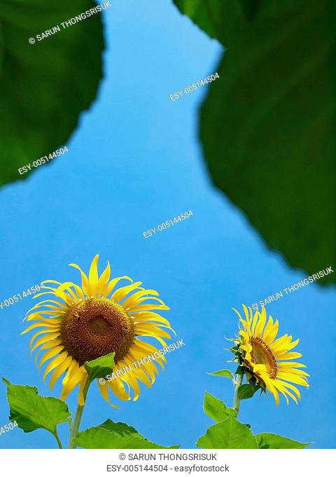 Natural frame of sunflowers