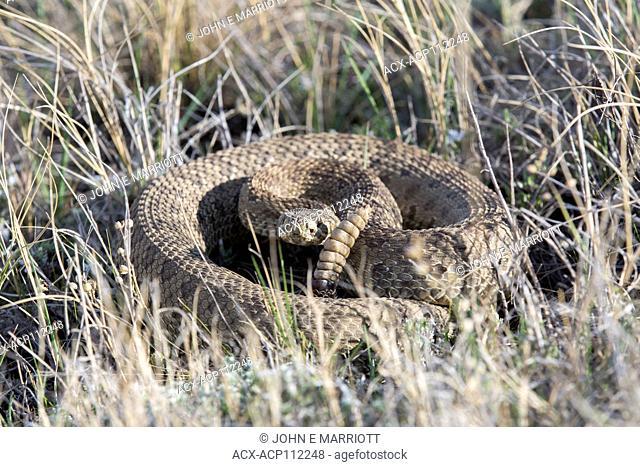 Prairie rattlesnake, Western rattlesnake, Great Plains rattlesnake, Crotalus viridis
