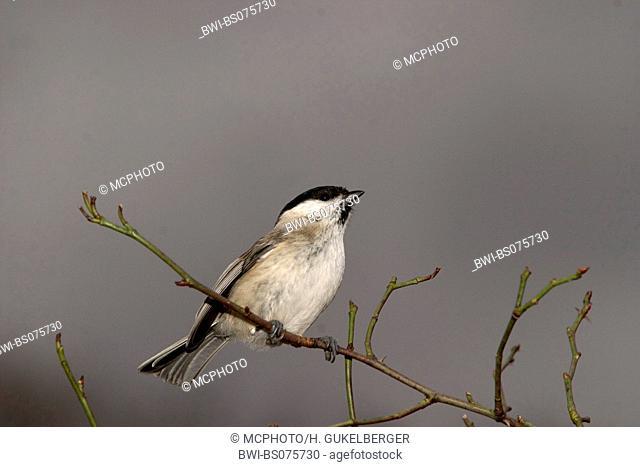 Marsh tit (Poecile palustris, Parus palustris), sitting on twig
