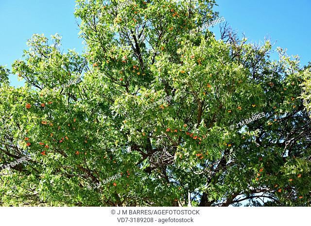 Service tree or sorb tree (Sorbus domestica) is a deciduous tree native to south Europe, north Africa, Caucasus and north Turkey