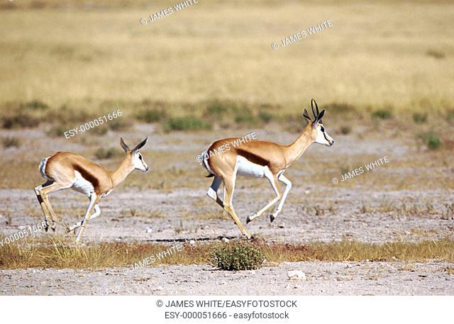 Springbok (Antidorcas marsupialis) running. Etosha National Park, Namibia