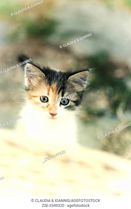 Faded portrait of a calico kitten outdoors