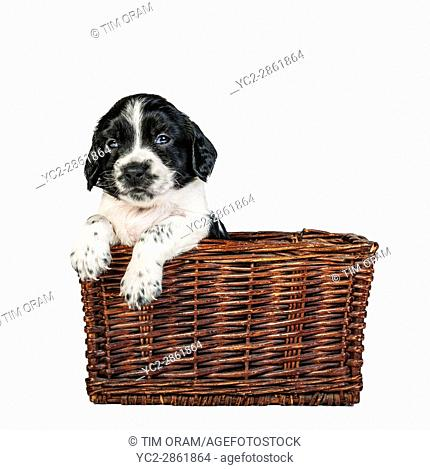 A 4 week old black and white English Springer Spaniel puppy in a wicker basket