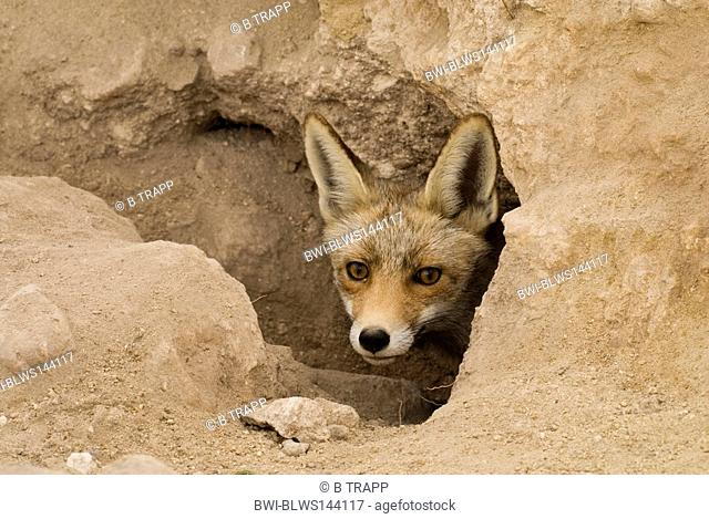 red fox Vulpes vulpes, looking out of den, Spain