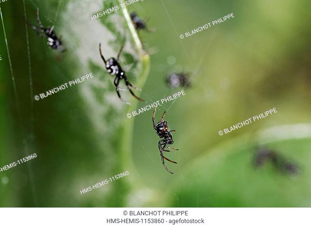 Italy, Araneae, Theridiidae, Mediterranean black widow or Steppe spider (Latrodectus tredecimguttatus), Babies spider shortly after emergence of cocoon