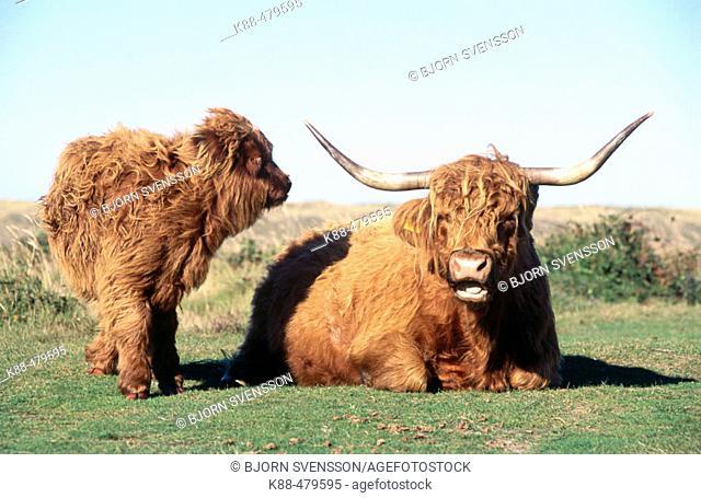 Scottish Highland cattle (Bos taurus). Texel island, Holland