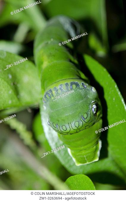 Common Mormon Caterpillar (Swallowtail Butterfly, Papilio polytes) in bushes, Klungkung, Bali, Indonesia