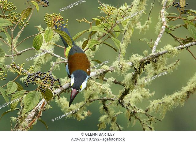 Black-billed Mountain Toucan (Andigena nigrirostris) perched on a branch in the mountains of Colombia, South America