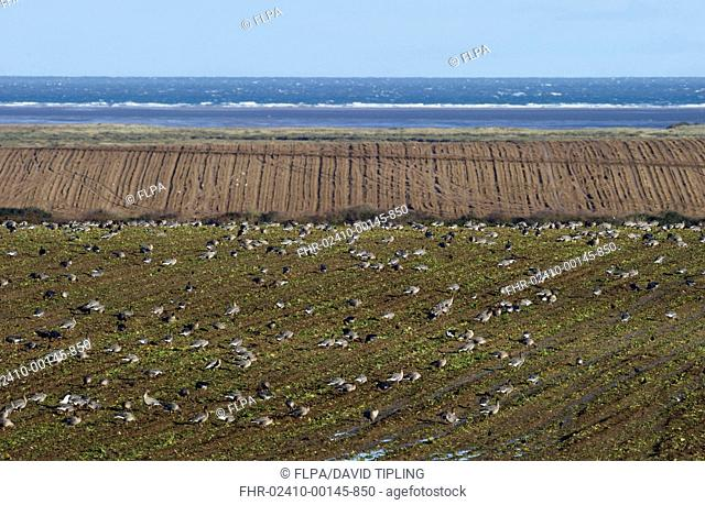 Pink-footed Goose Anser brachyrhynchus flock, feeding on cut Sugar Beet Beta vulgaris field, in coastal farmland habitat with sea in background, North Norfolk