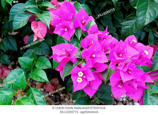 BOUGAINVILLEA, BARBARA KARST, Plant of Asia