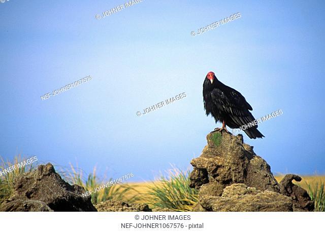 Turkey vulture standing on rock