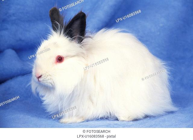 an Angora Rabbit, Looking at Camera, Standing on a Blue Blanket, Side View