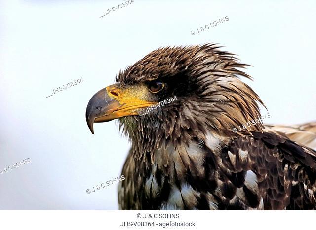 Bald Eagle, (Haliaeetus leucocephalus), immature, portrait, Northamerica, America
