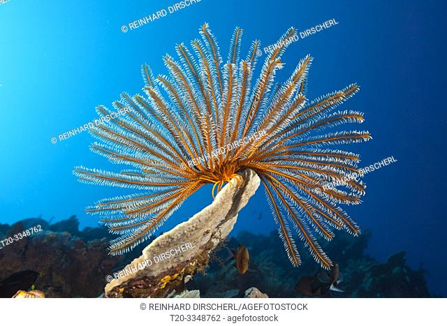 Bushy Feather Star in Coral Reef, Comaster schlegeli, Tufi, Solomon Sea, Papua New Guinea