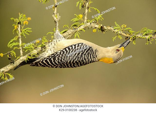 Golden-fronted woodpecker (Melanerpes aurifrons), Santa Clara Ranch, Starr County, Texas, USA