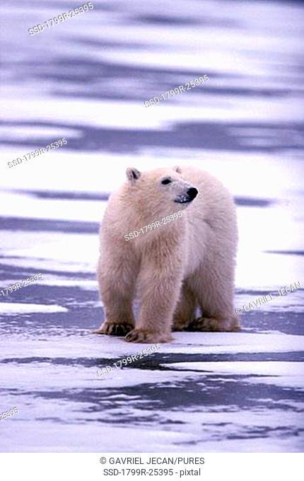 Polar bear Ursus maritimus foraging in snow, Churchill, Manitoba, Canada