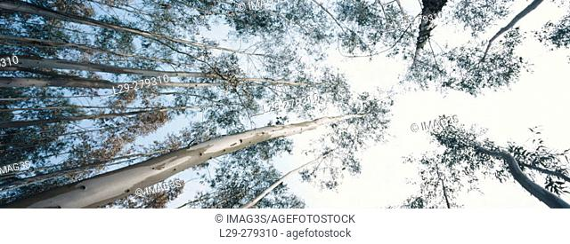 Tasmanian Blue Gum (Eucalyptus globulus) in Candamo, Asturias province. Spain