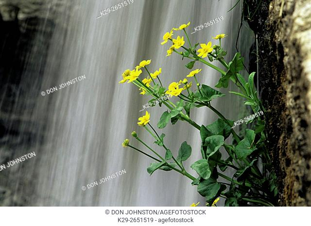Marsh marigolds and High Falls, near Manitowaning, Manitoulin Island, Ontario, Canada