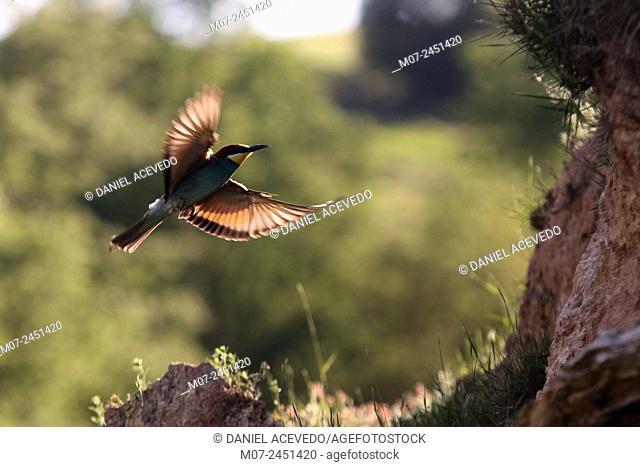 European Bee eater, merops apiaster, Spain, Europe