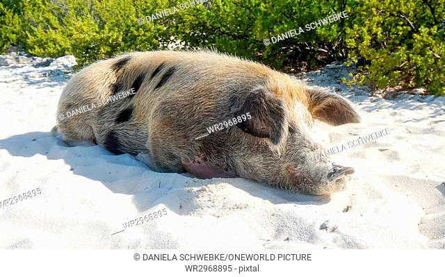Bahamas Great Exuma Pig Island On The Beach