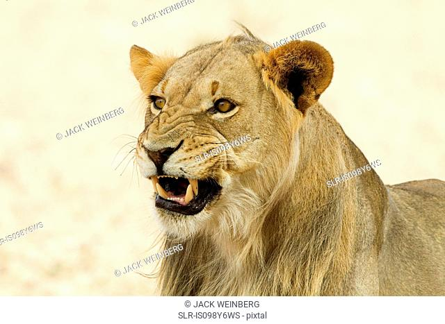 African lion, headshot