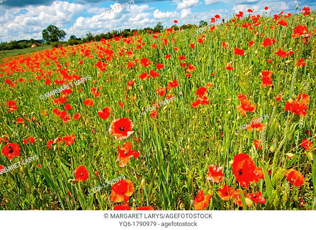 Beautiful fields of red poppies close up, Scotland, United Kingdom
