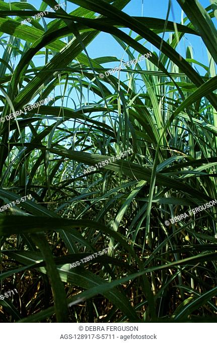 Agriculture - Close-up detail of nearly mature sugar cane plants looking down between rows / LA